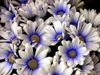 Gardening ♡ White and Blue Daisy Seeds X 15