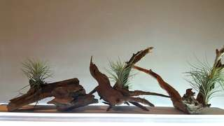 Airplant with driftwood - funkiana