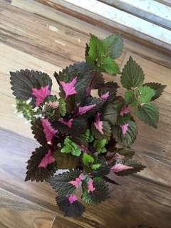Coleus Plant (Outdoor & Indoor Plant)