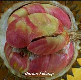 Durian Pelangi Bibit Durian Pelangi