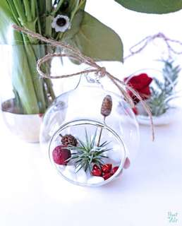 Aerium: Cherish Globe (M) with air plant