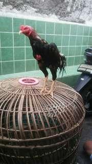 Ayam adu ( bangkok )