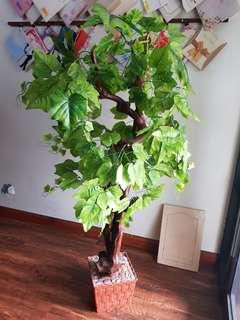 Pohon Anggur cantik - Daun Ijo Hoki