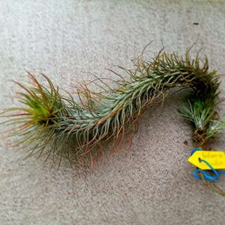 Offer: T.Funckiana var Recurvifolia/ Airplant/ curved