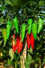 Gardening ♡ Clarabel F1 Hybrid Conical Pepper Seeds X 25