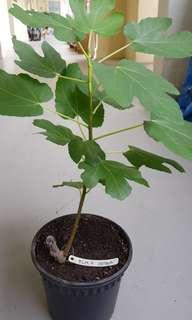 Black Genoa Fig Tree x 3 ($20 each)