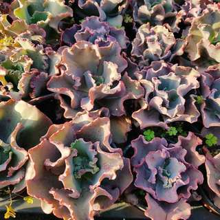😍RARE SUCCULENTS: X120 - Echeveria Can Can (FIRST COME FIRST SERVE! VERY LIMITED STOCKS!)😱