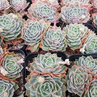😍RARE SUCCULENTS: X125 - Echeveria acc Onslow Cluster (FIRST COME FIRST SERVE! VERY LIMITED STOCKS!)😱