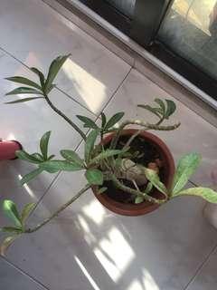 Desert rose/ Adenium