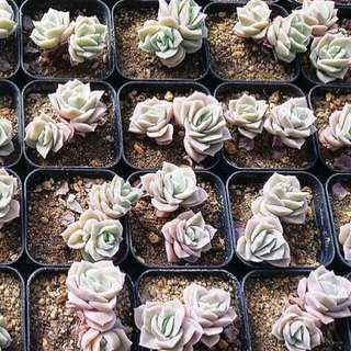 😍RARE SUCCULENTS: S048 - Lovely Rose Pair (FIRST COME FIRST SERVE! VERY LIMITED STOCKS!)😱