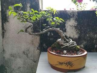 Bonsai Shui Mei