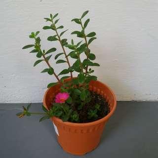 Portulaca Oleracea / Moss Rose