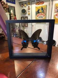 Authentic blue peacock butterfly Taxidamy art frame