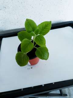 Mexican Mint/Indian Borage