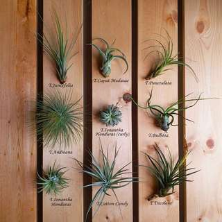 SPECIAL Offer: Air plants (set of 9 plants + free glue)