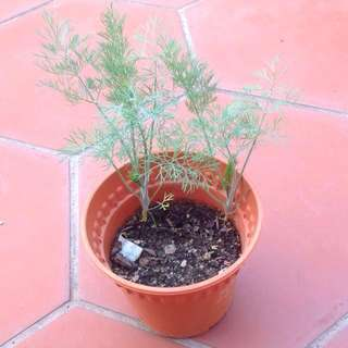 2x Fennel Herb plants in 1 pot