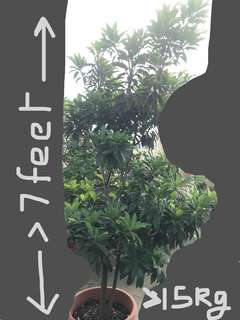 Sapodilla (Sapota) tree- 5 year old-grown from seed