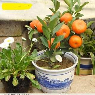 Potted Orange Fruit Seeds