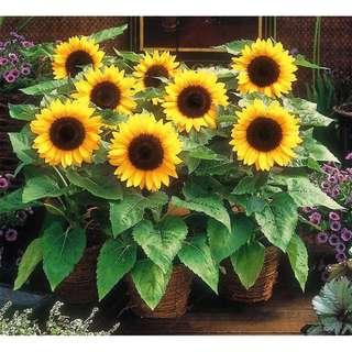 Sunflower Seeds for garden balcony