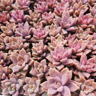 😍RARE SUCCULENTS: X126 - Graptoveria Gilva (FIRST COME FIRST SERVE! VERY LIMITED STOCKS!)😱