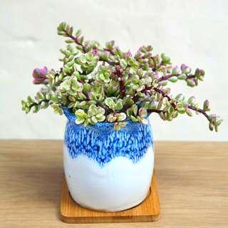 斑葉馬齒莧 連盆 多肉植物 盆栽 18cm(W) Rainbow Bush (Portulaca Hana Misteria) Succulent Plant with Ceramic Pot 易種 耐旱