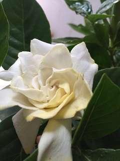 Flowering Gardenia plant/ cape jasmine