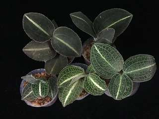 "Anectochilus sp. ""Green Striped"""
