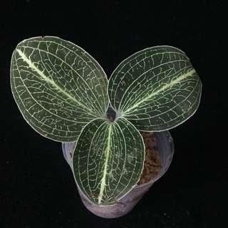 "Anectochilus sp. ""Green Striped"" for sale"