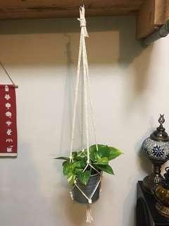 Devil's Ivy 'Money Plant' in Hanging Pot