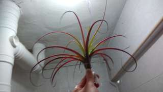 Air Plant Love Knots rare Super RED hybrid all year round
