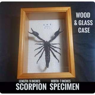 Scorpion Specimen