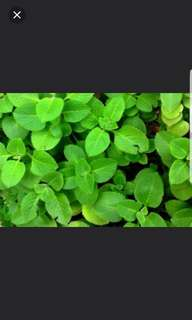 Free blessing to give away: Indian mint plant