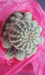 Cactus: Gymnocalycium Bruchii (offsets)