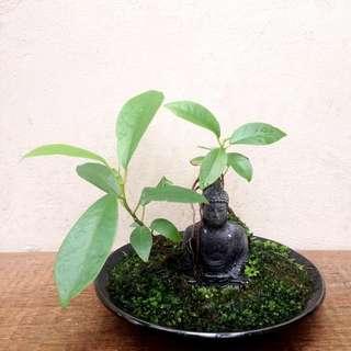 Zen  Bonsai  -  Nirvana  Series  1018