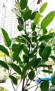 Jackfruit tree (2.5 years old)