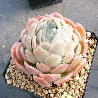 😍RARE SUCCULENTS: S049 - Pink Angel (FIRST COME FIRST SERVE! VERY LIMITED STOCKS!)😱