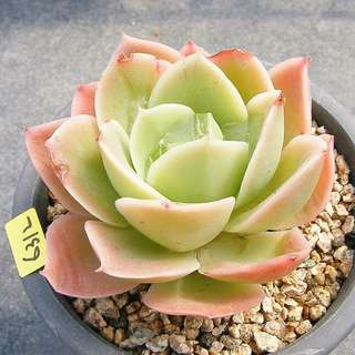 😍RARE SUCCULENTS: S050 - Lemon Rose (FIRST COME FIRST SERVE! VERY LIMITED STOCKS!)😱