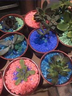 Succulents Giveaways (Wedding,Debut,Birthday)