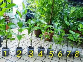 Plants - Young Passionfruit Vines