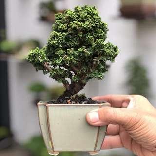 Rare Japanese Sekka Hinoki Bonsai