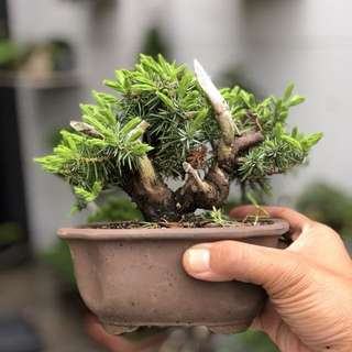Japanese Tosho Bonsai