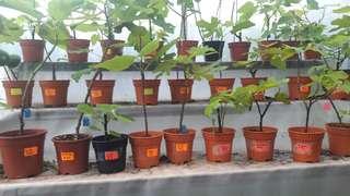 Figs on sale