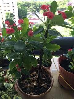 Euphorbia Milii Potted Plant