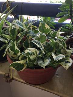 Potted Pothos Plant