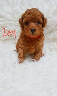 Open booking toy poodle
