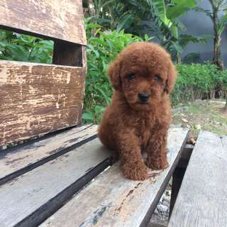 Red toy poodle jantan
