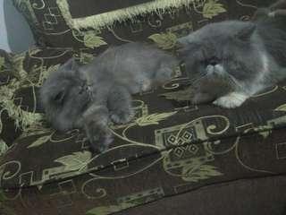 NEGO!! SEPASANG Pejantan dan Indukan Kucing Persia Peaknose