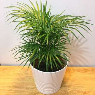 🌿MODERN Tabletop Palm (Suitable indoors! Includes Ceramic Pot!)😍