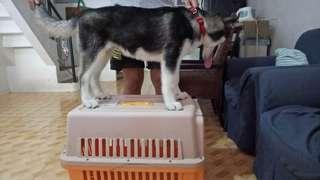4 Months Siberian Husky