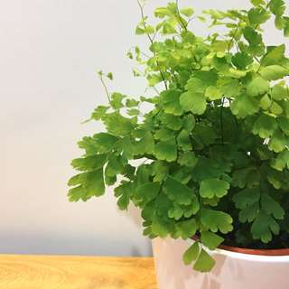 🌿MODERN Maidenhair Fern (Suitable indoors! Includes ceramic pot!)😍